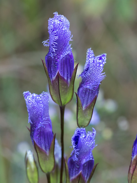 Greater Fringed Gentian