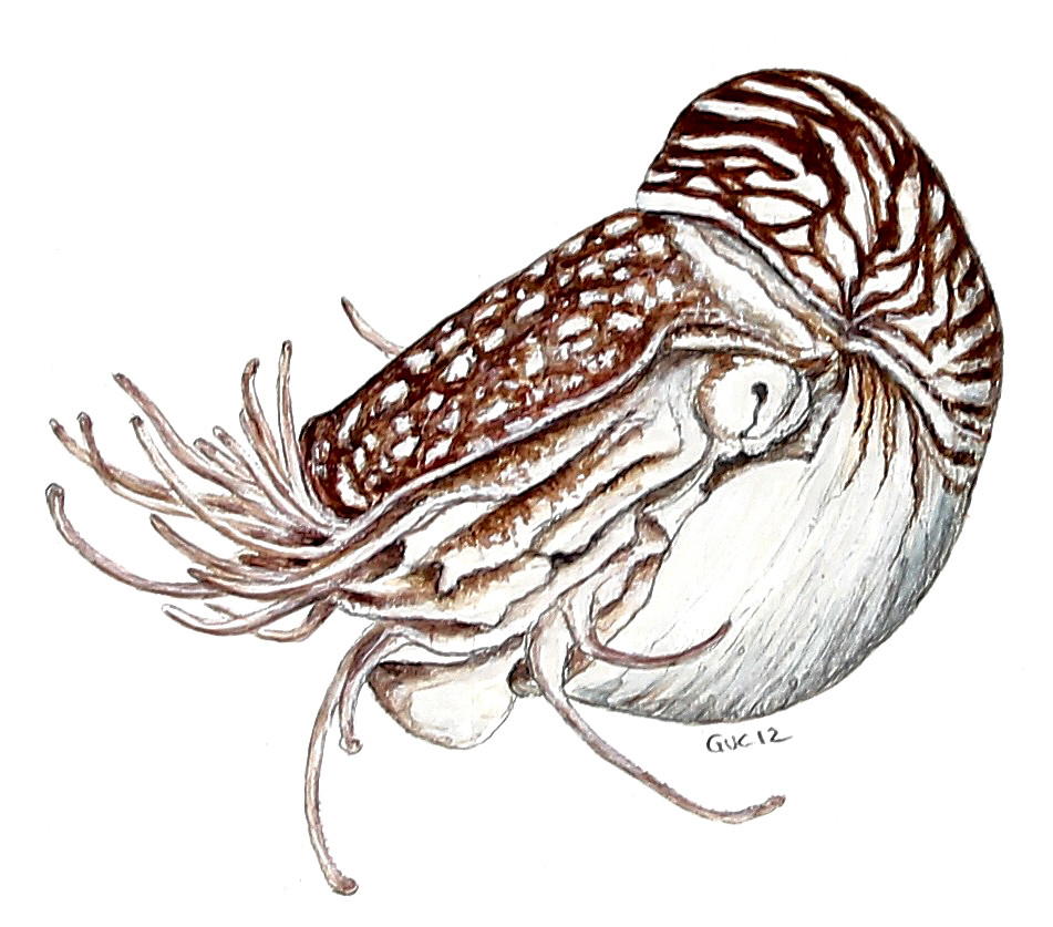 Line Art Nautilus : Nautilus watercolor this can be found in