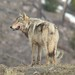 Gray Wolf, credit- Doug McLaughlin copy 2