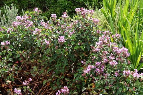 P. cordifolium 'Valentine'