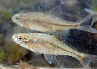 Oregon chub | by Oregon Department of Fish & Wildlife