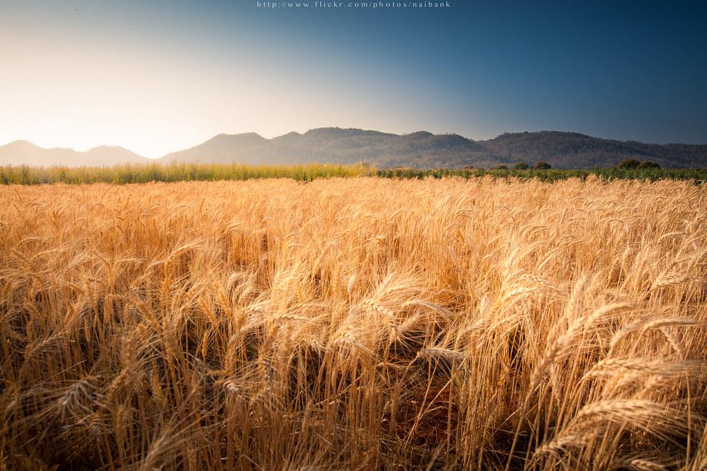 barley fields by nitrok - photo #10