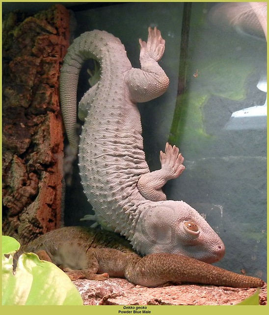 Powder Blue Tokay Gecko - ma