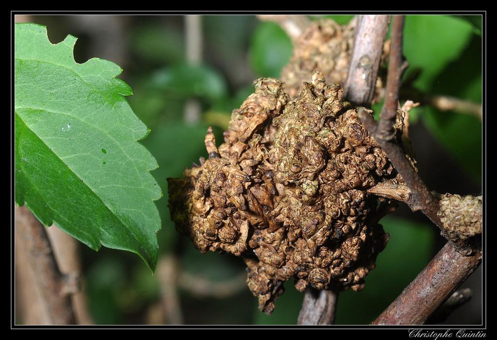 Galle du collet sur Forsythia due à Agrobacterium tumefaci ...