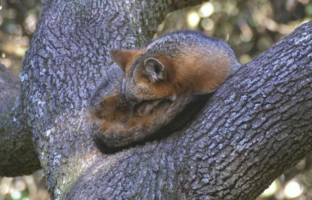 Gray fox sleeping intree florida fish and wildlife flickr for Florida fish wildlife