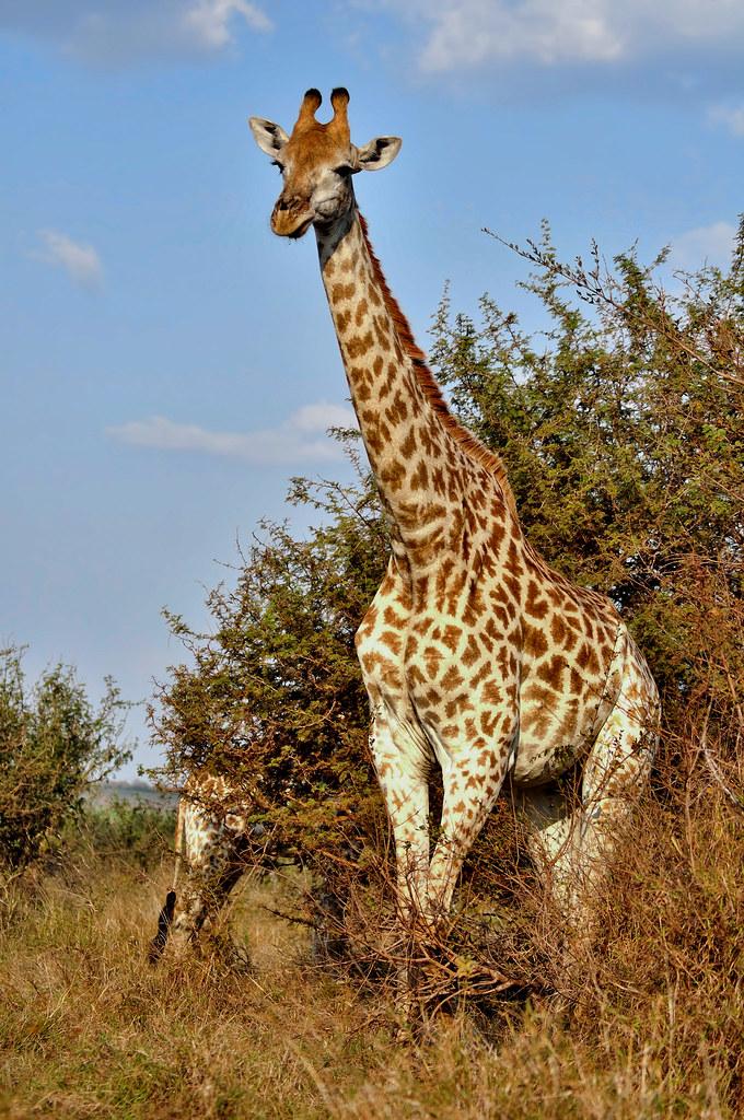 About >> Giraffe standing | Giraffe standing | Steve Slater | Flickr