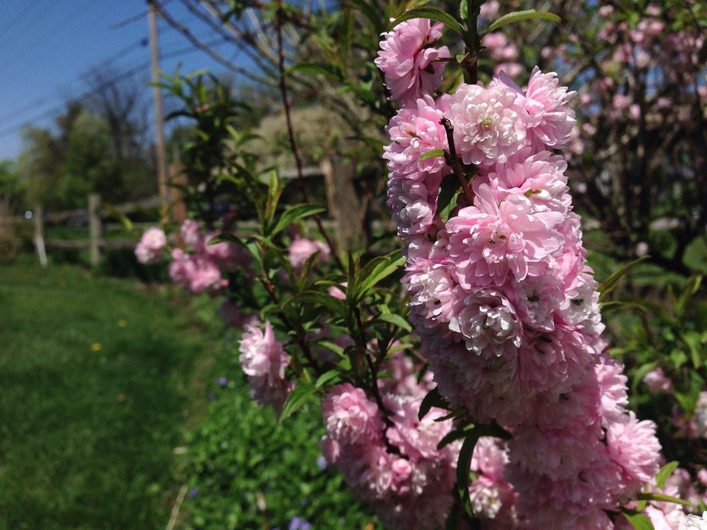 Pink Flowering Shrub Dwarf Flowering Almond Seen along …