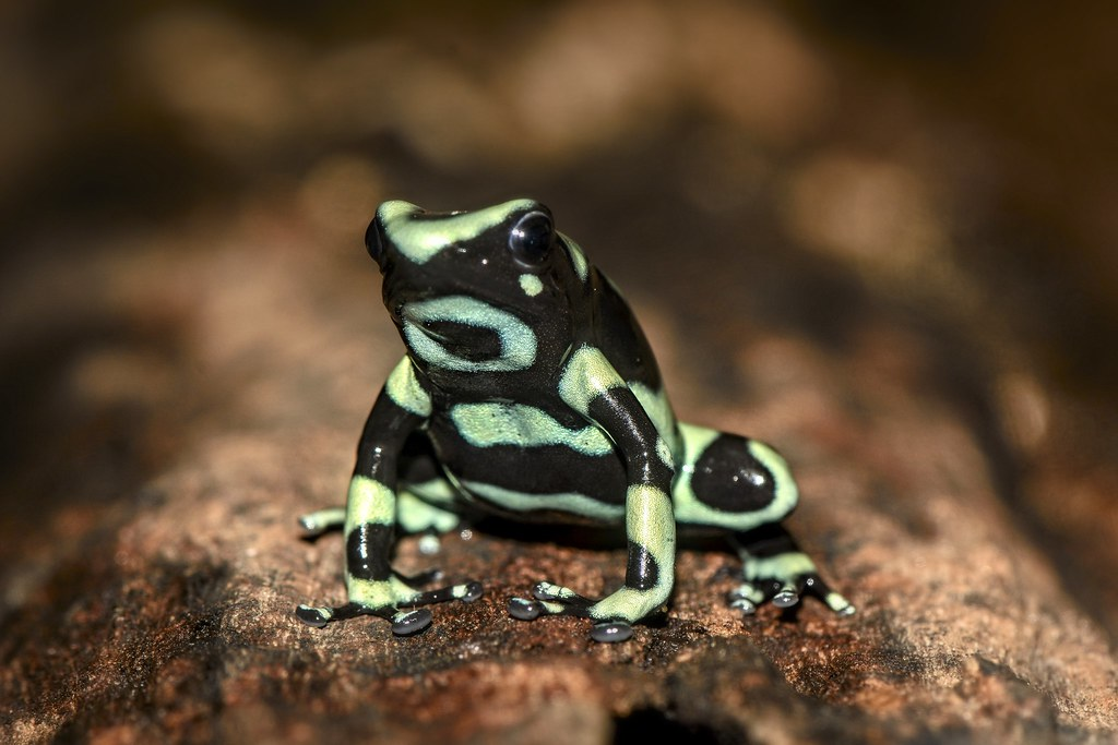 Green and Black Poison Dart Frog | A green and black ...