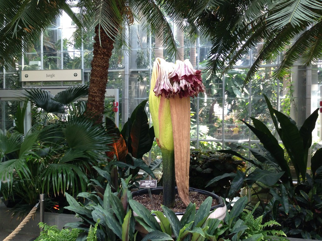 Wilted corpse flower brownpau
