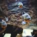 Red-bellied Piranhas