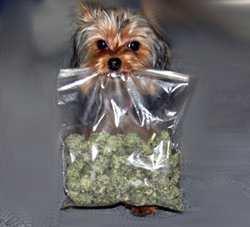 yorkie-bolsa-marihuana