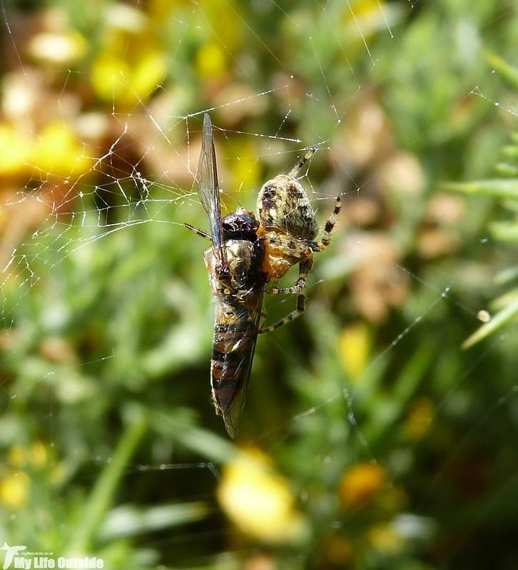 P1130405 - Garden Spider