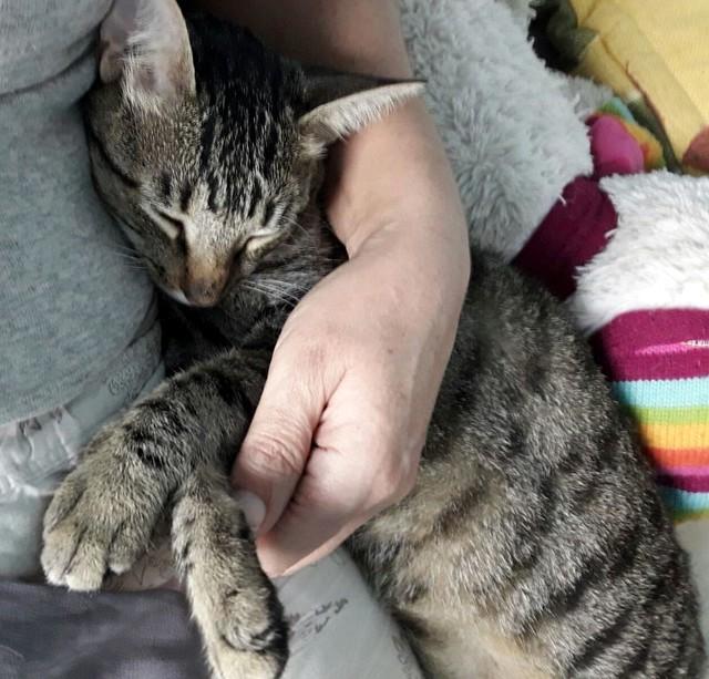 Tigris, gatita atigrada parda de ojazos verdes y cara redondita, tímida y sumisa esterilizada, nacida en Septiembre´15, en adopción. Valencia. ADOPTADA. 25365015209_9397c046f3_z