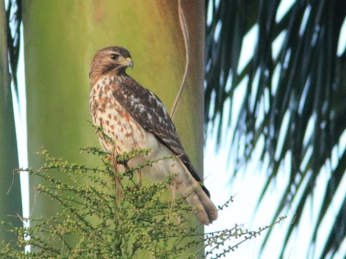 Red-shouldered Hawk immature 02-20161110
