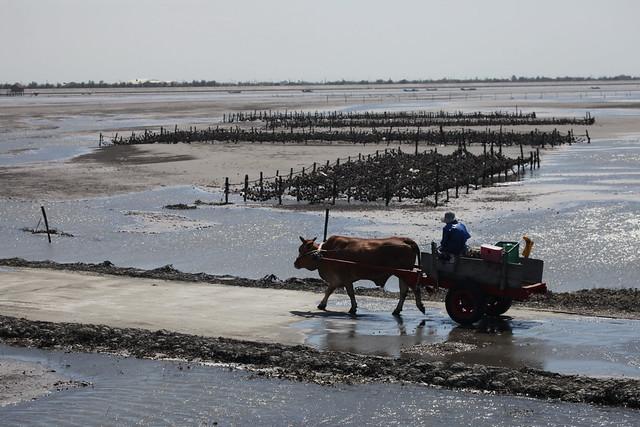 彰化海岸濕地上的海牛車。攝影:周民雄。