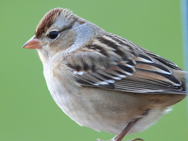 White-crowned Sparrow portrait 04-20161014