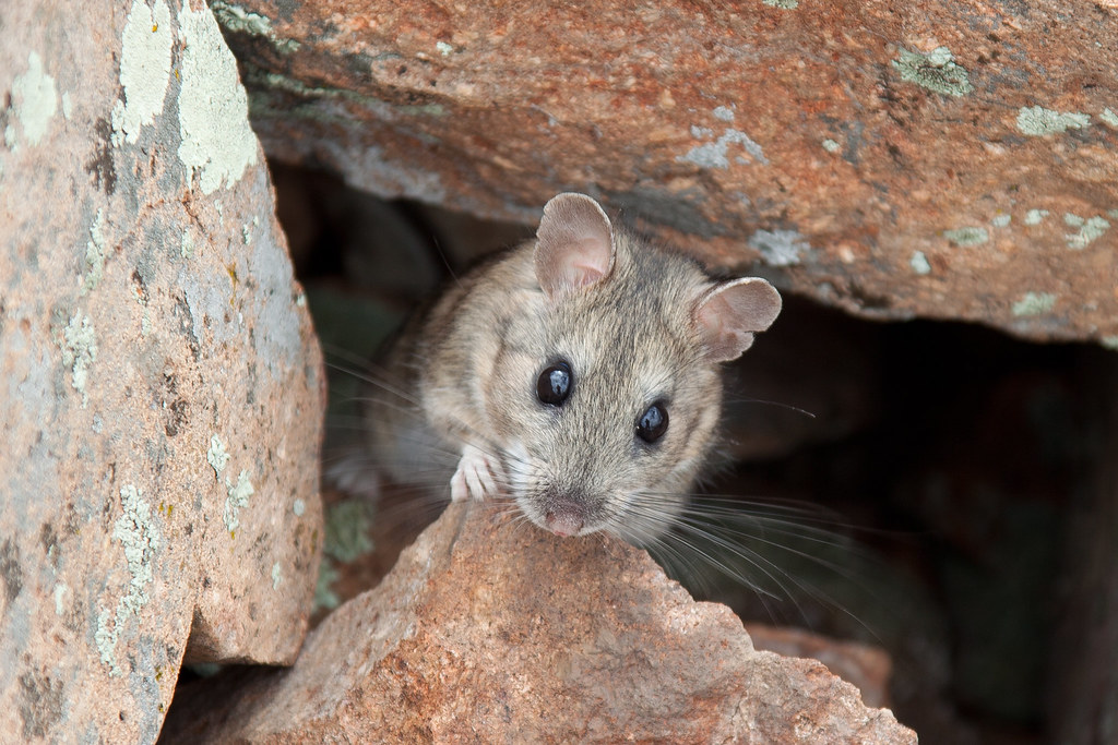 white-throated woodrat...