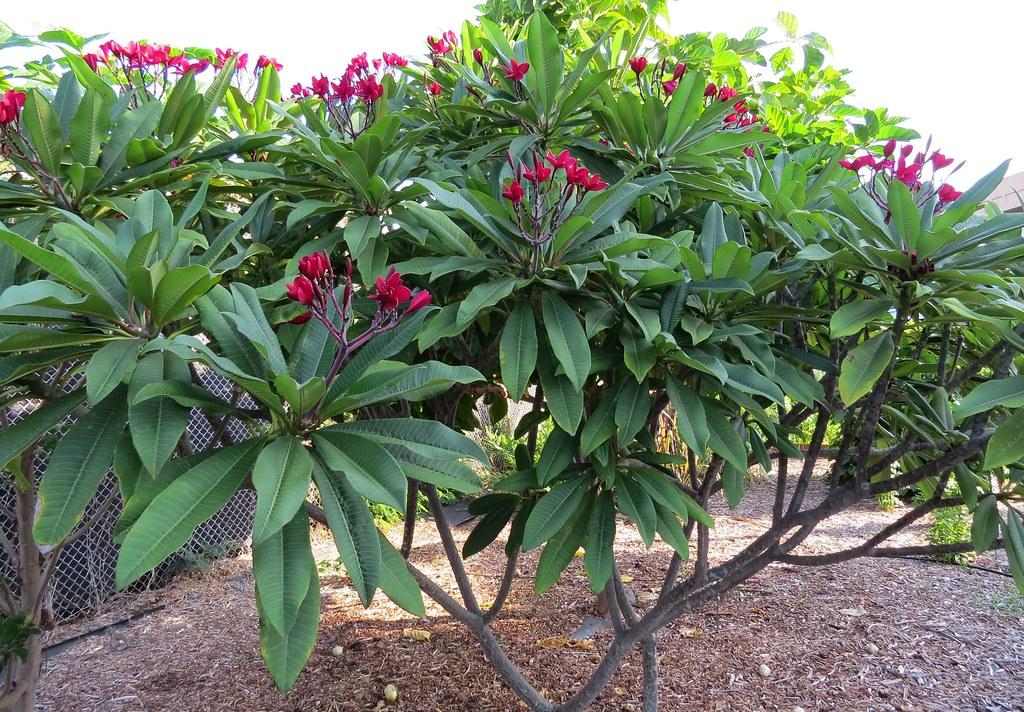 Plumeria rubra | Plumeria or Frangipani Apocynaceae ...