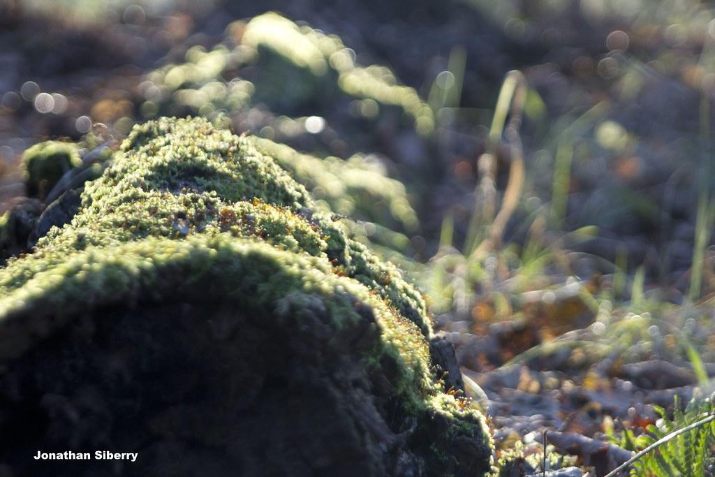 Sunrise Moss