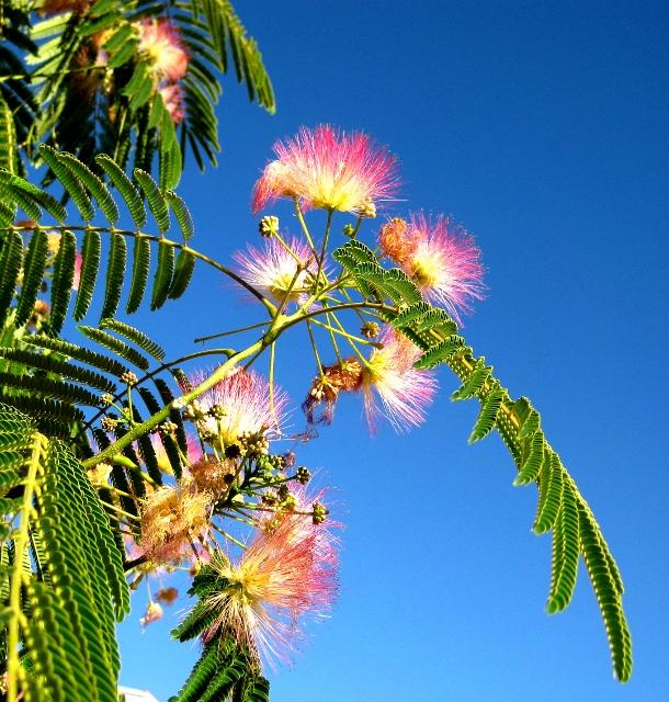 Arbol de las flores peludas rosas susana garc a herv s - Arbol de rosas ...