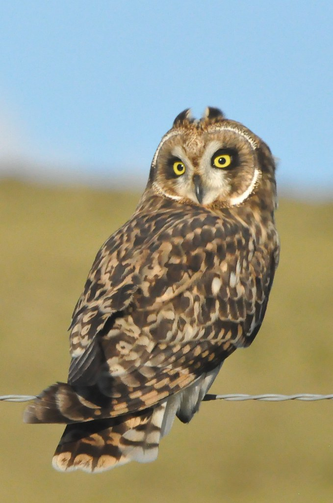 Pueo Short Eared Owl Asio Flammeus Sandwichensis Dsc 976