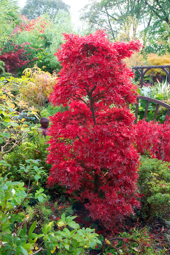 autumn acer palmatum 39 shaina 39 four seasons garden flickr. Black Bedroom Furniture Sets. Home Design Ideas