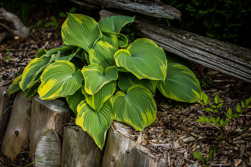 Hosta Earth Angel, le hosta de l'année 2009 18902889882_8d2078071f_c