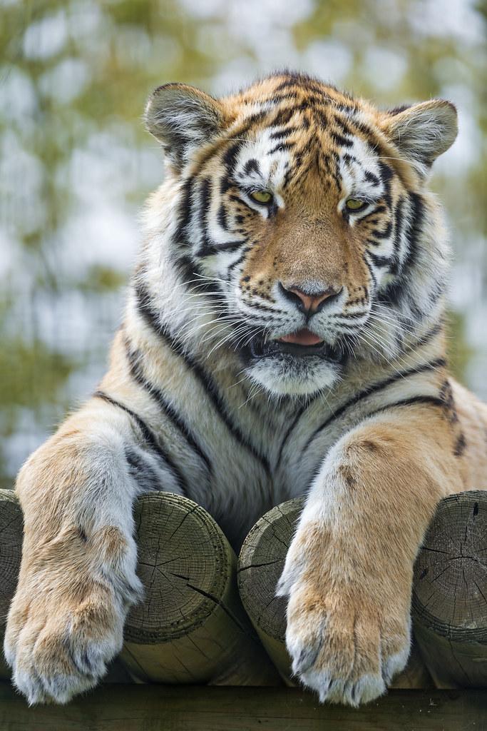 Young Amur Tiger Posing The Platform Cute