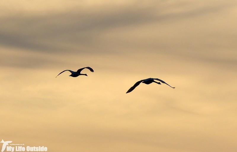 P1130462 - Mute Swans, Machynys