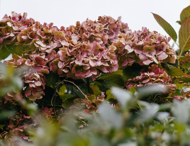 pink fading hydrangea