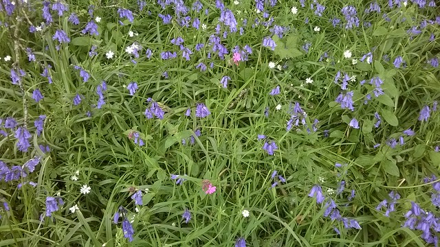 Bluebells and wildflowers at Wild Oak Woods