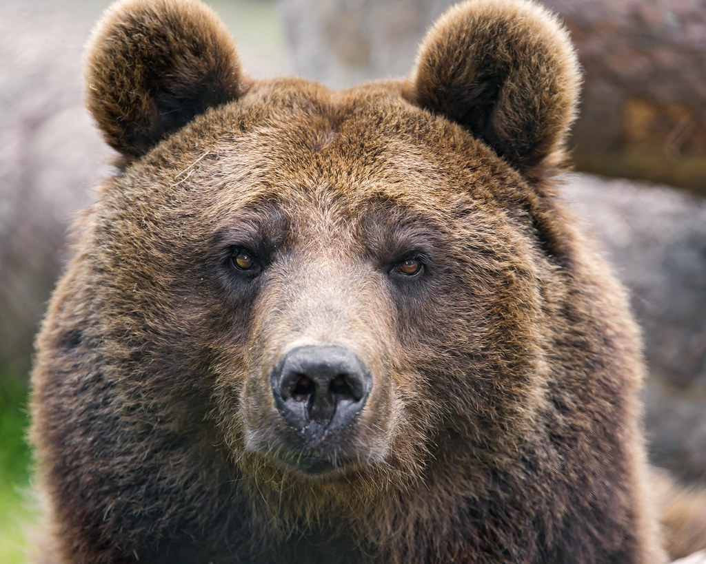Brown bear - photo#10