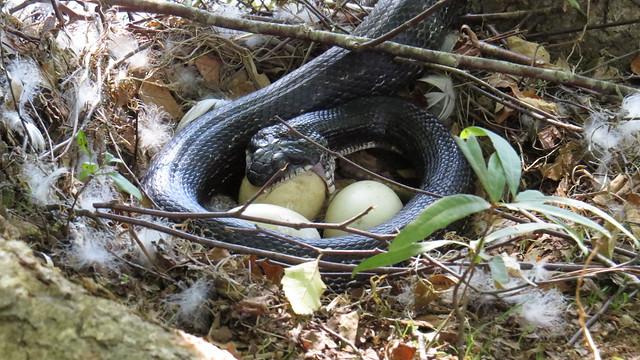 Snakes Eat Eggs Flickr Photo Sharing