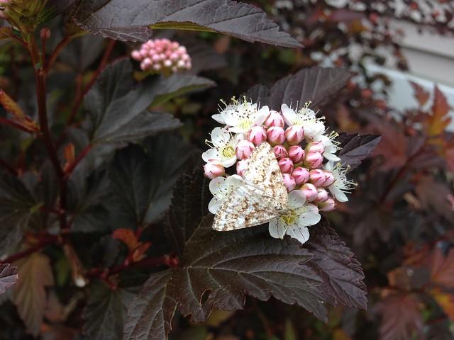 Moth on ninebark flowers