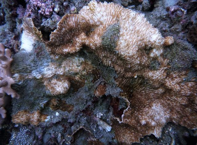 因泥沙覆蓋而逐漸白化死亡的珊瑚群體-蕭伊真攝