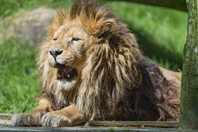 Lion With Open Mouth 50