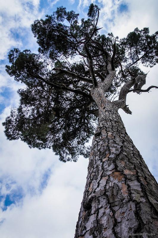 El enorme pino de la Font d'en Canet