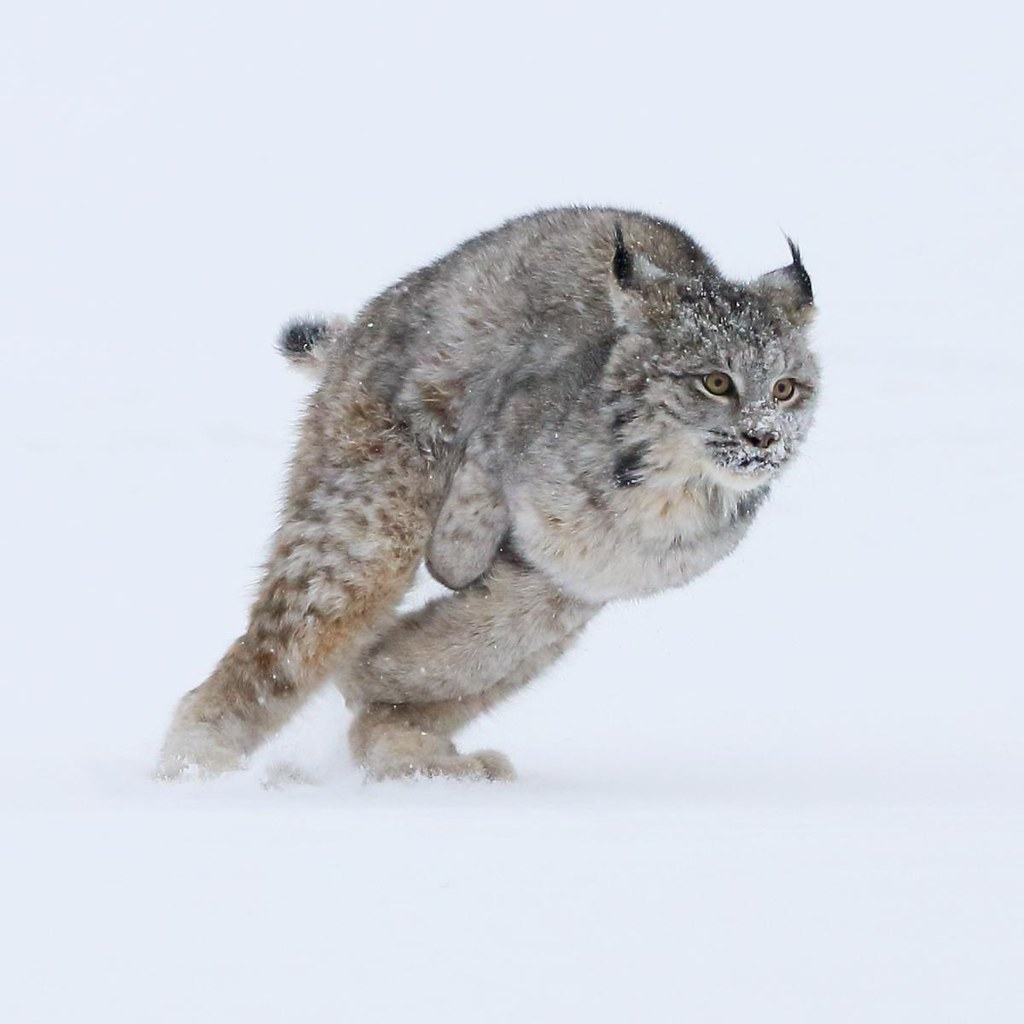 B Mobile Mountain Lion Lynx running 2 no vign...