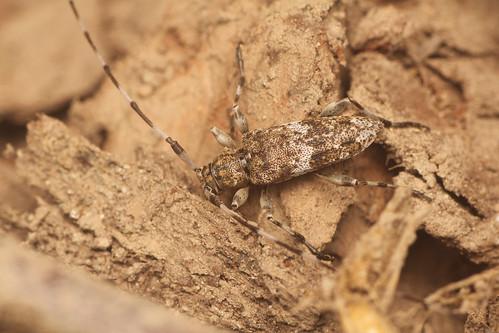 ヒゲナガモモブトカミキリ