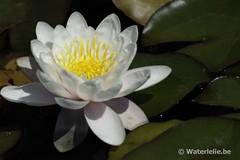 Nymphaea Marliacea Carnea
