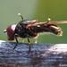 Syrphid Fly (Melanogaster sp.)