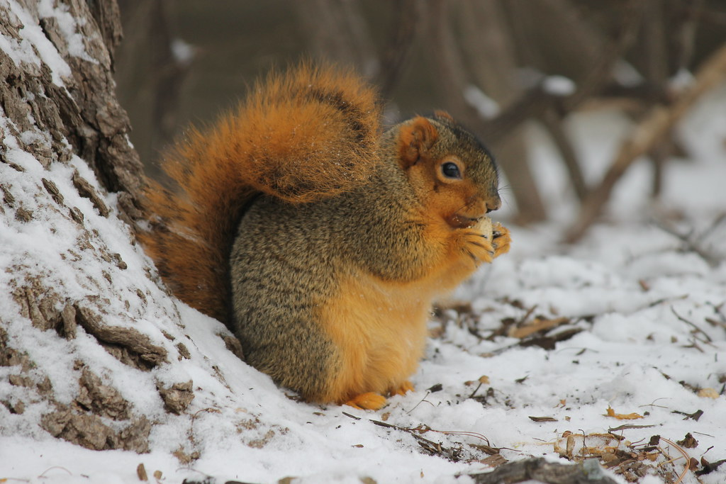 Squirrel In The Snow At The University Of Michigan Decemb