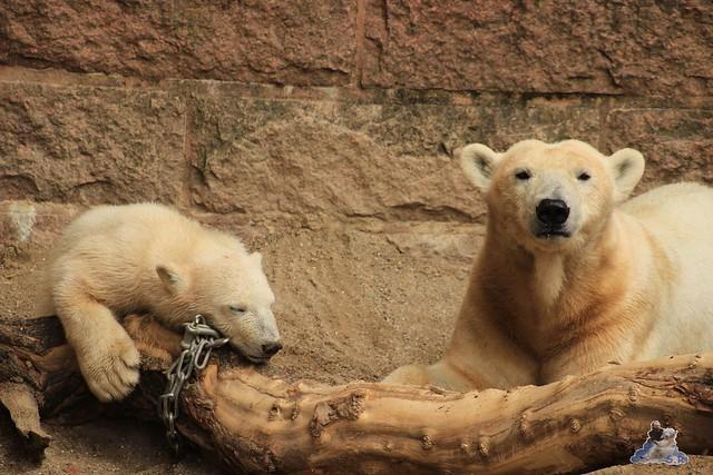 Eisbär Fiete im Zoo Rostock 14.06.2015  78