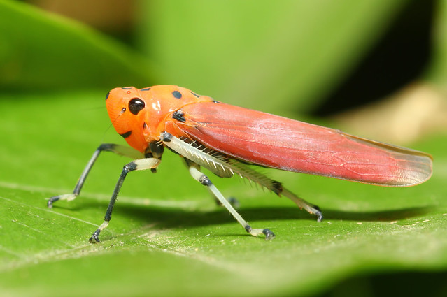 colorful leaf hopper by - photo #10