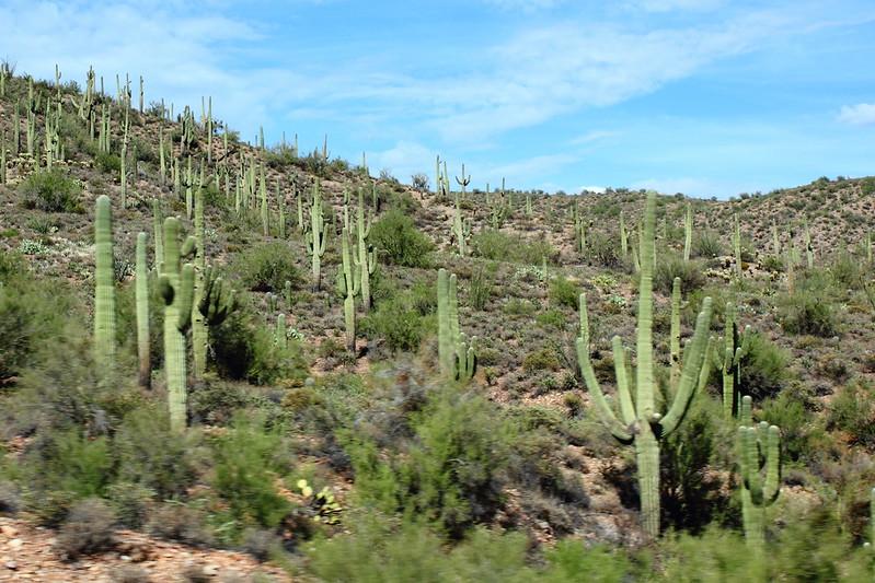 Arizonan jättikaktuksia