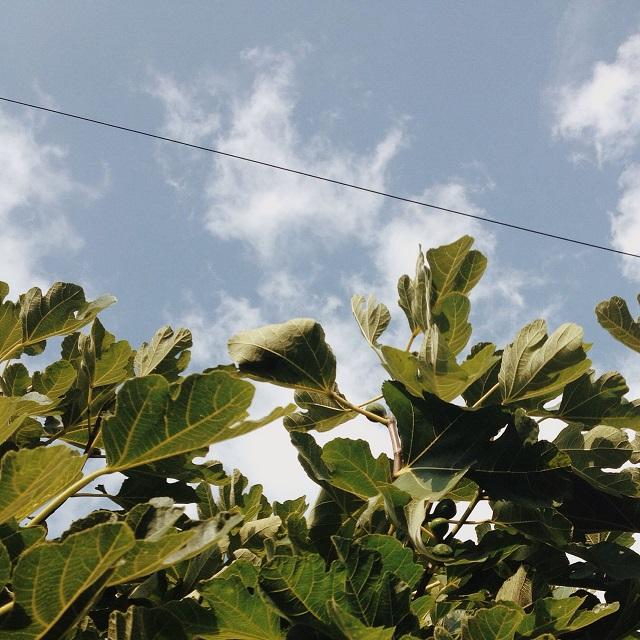 fig leaves and blue skies