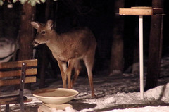 Deer Sneaks in to Feed at Night