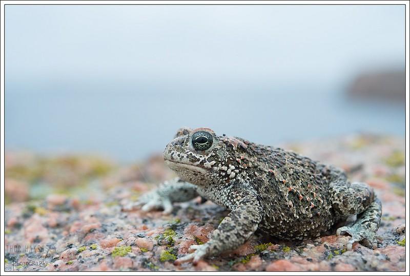 Камышовая жаба (Bufo calamita), фото фотография амфибии