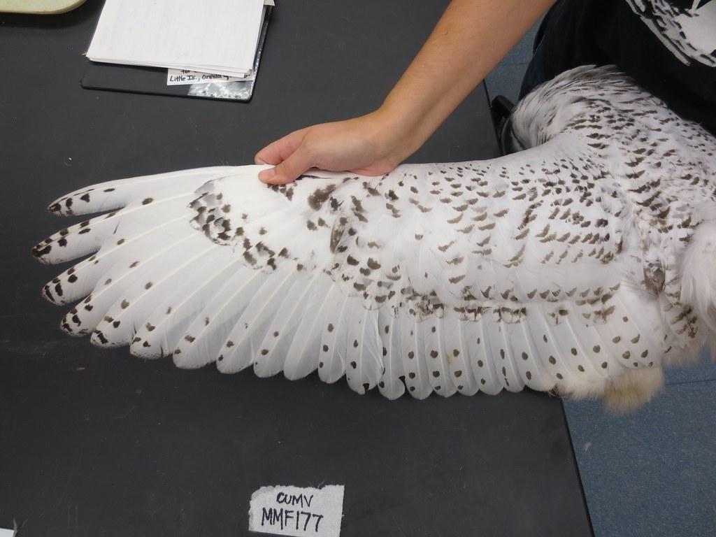 CUMVBird 55512 Snowy Owl (Bubo scandiacus) Specimen MMF 17 ...
