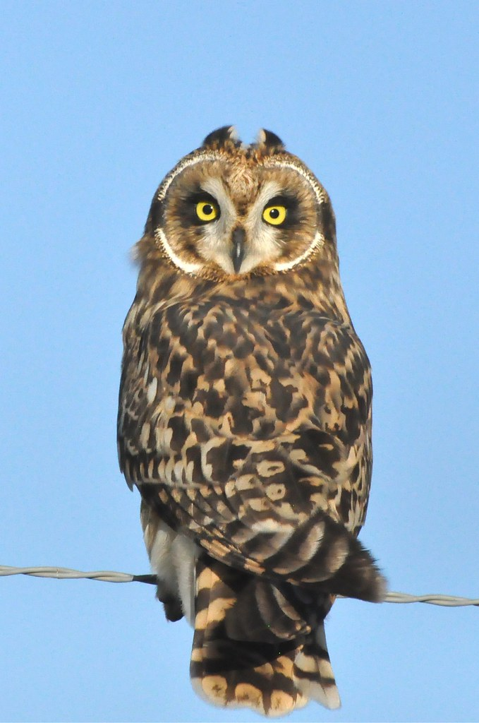 Pueo Short Eared Owl Asio Flammeus Sandwichensis Dsc 977